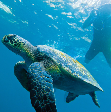 Green sea turtle, Galápagos