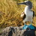 Blue-footed boobie, Galápagos Islands